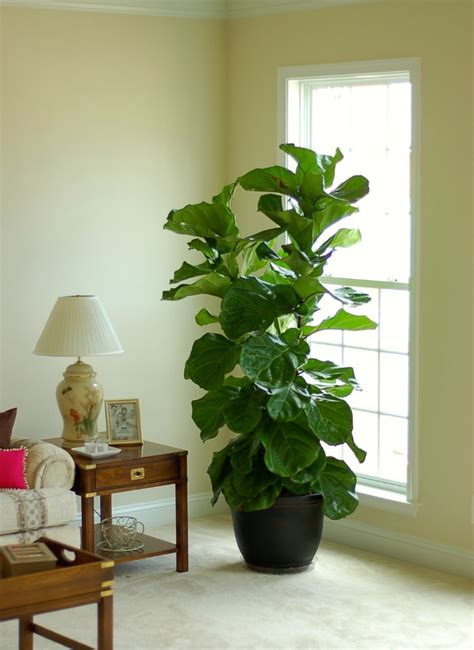 ficus planta interior ficus lyrata una planta muy decorativa en el interior de