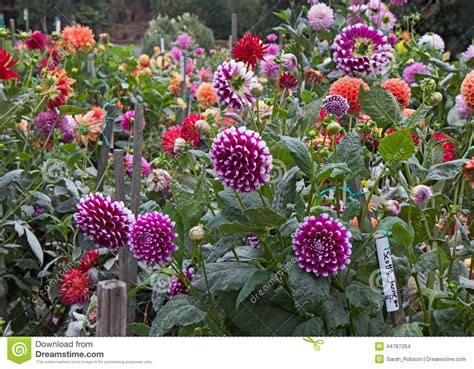 Dahlia Flower Gardens Pictures To Pin On Pinterest Pinsdaddy Dahlia Flower Garden