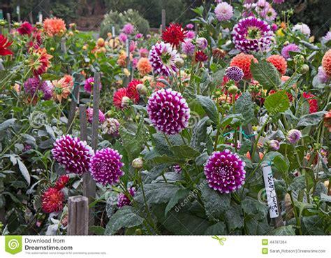 Dahlia Flower Garden Dahlia Flower Gardens Pictures To Pin On Pinsdaddy