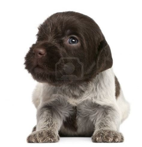 pointing griffon puppy 17 best images about wirehaired pointing griffon on handsome boys guns
