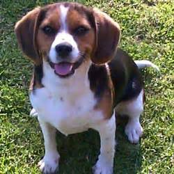 beaglier puppies for sale beaglier puppies for sale from reputable breeders
