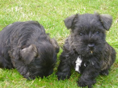 puppies now adorable wauzer puppies ready now ely cambridgeshire pets4homes