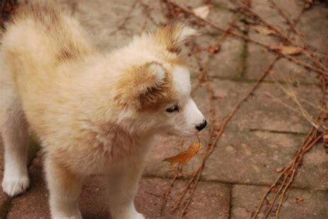 alaskan husky golden retriever mix golden retriever siberian husky mix pets