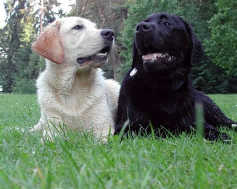 pics of lab puppies labrador center labrador retriever desktop and background images