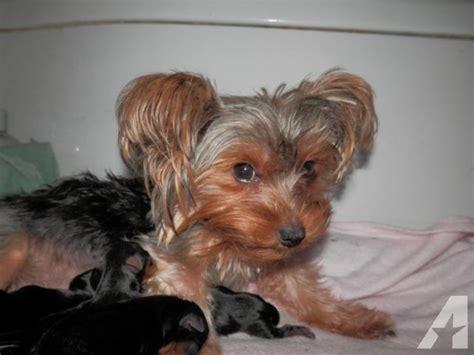1 week yorkie puppies yorkie puppies one week for sale in grundy center iowa classified