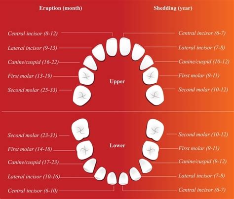 children s teeth diagram a guide to children s teeth sudocrem