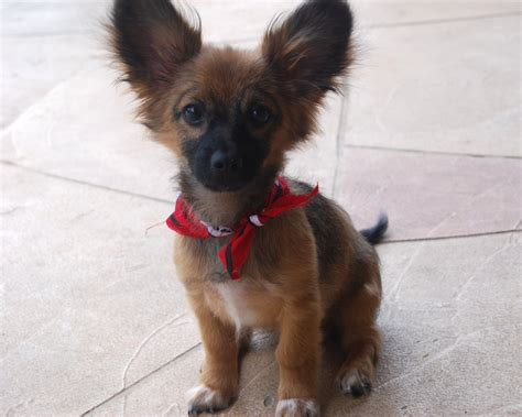 paperanian puppies paperanian information pictures reviews and q a greatdogsite