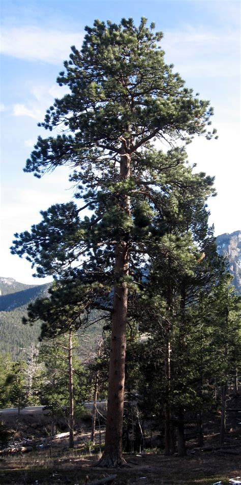 7ft rocky mountain pine tree rocky mountain bushcraft rocky mountain tree identification ponderosa pine tree