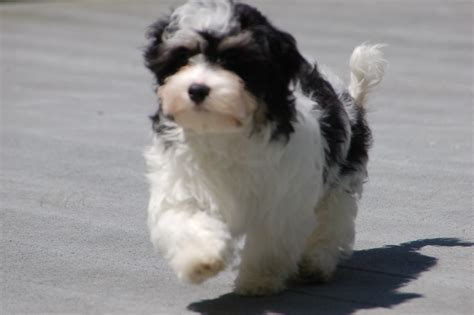 black and white havanese puppies for sale keeping dogs safe from tainted treats from china