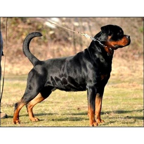 german vs american rottweiler american rottweiler vs german rottweiler photo happy heaven