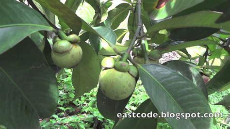 purple mangosteen tree rayong thailand youtube