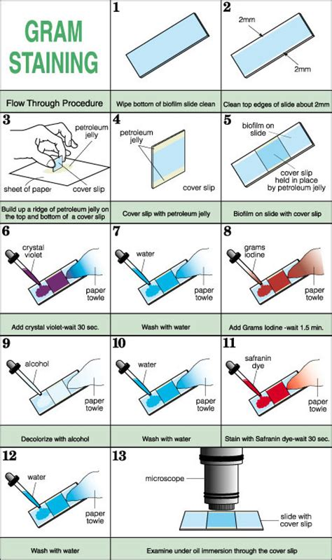 gram staining procedure in flowchart flow through gram stain inustructions for students