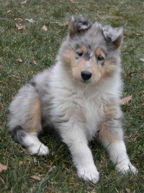 blue merle collie puppies for sale puppies collie kennel blue merle collie puppies collies sale breeds picture
