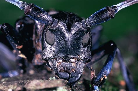 asian beetle file asian longhorn beetle insect jpg wikimedia commons