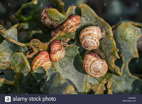 kleine weisse schnecken im garten kolonie invasiven wei 223 garten schnecken sand hill