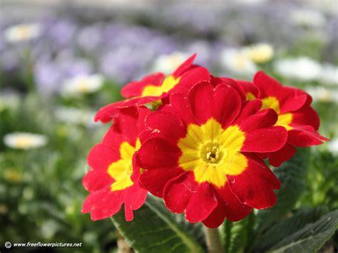 flower image primula pictures english primrose primula vulgaris pictures