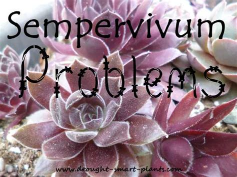 bug resistant cactus plants sempervivum problems diseases pests help for your hens and