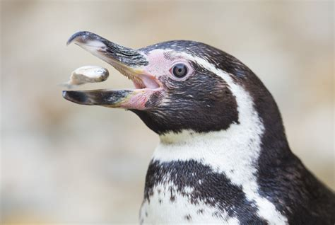 penguin eating fish www pixshark com images galleries with a bite