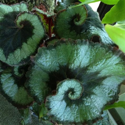 17 best images about escargot begonia on pinterest