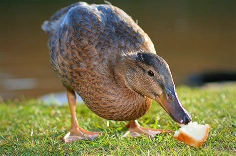 duck eating some bread flickr photo sharing