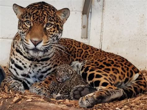 elmwood park zoo s jaguar cubs are a zooborns