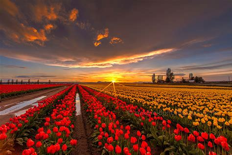 netherlands tulip fields 15 incredibly colorful spring flower fields around the