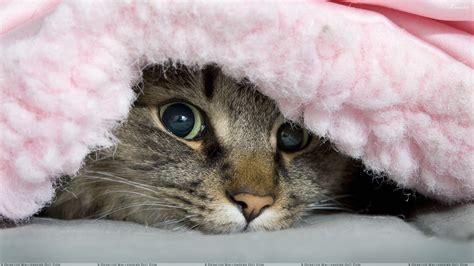 cat under wallpaper blanket cat wallpaper 1920x1080 11875