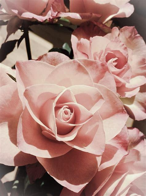 Rosa Blumen by Kostenloses Foto Rosa Blume Sch 246 Ne Blumen