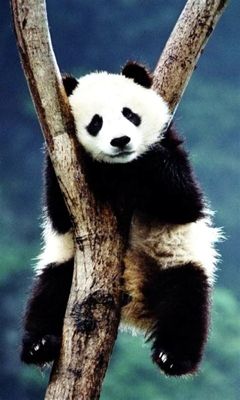 wallpaper android panda panda wallpaper android apps on google play