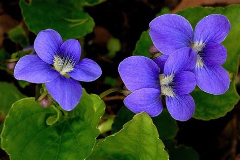 new jersey state flower wood violet home pinterest nj state flower violet tattoo ideas pinterest new