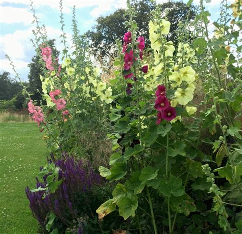 difficult plants to grow how to grow hollyhocks