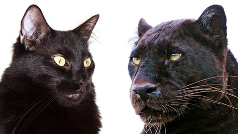 giant house cats 10 ways domestic cats and big cats are similar life with cats