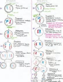 meiosis vs mitosis worksheet virallyapp printables worksheets