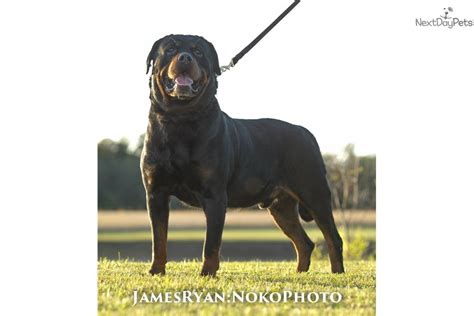 rottweiler puppies for sale illinois rottweiler puppy for sale near springfield illinois