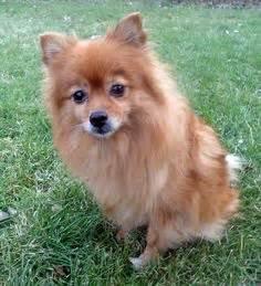 papillon fox terrier mix breeds picture