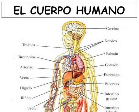 imagenes reales de organos del cuerpo humano laminas cuerpo humano spanish pinterest spanish and