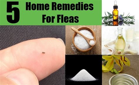 Best Home Remedy For Fleas On Dogs by Top 5 Home Remedies For Fleas Top Diy Health Home Remedies