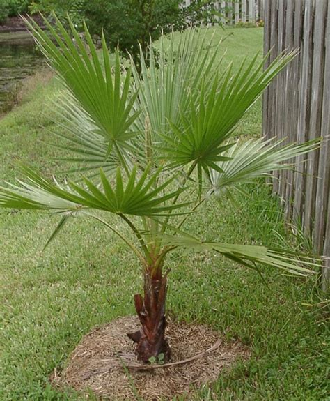 palm tree fan blades mexican fan palm trees lost 2 big ones worth about 1k