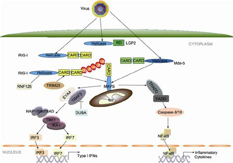germline encoded pattern recognition receptors rlr mavs signaling pathways induced by rna viruses rig i