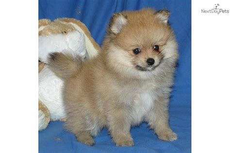 show me pictures of pomeranian puppies pomeranian puppy for sale near springfield missouri 88c8c477 f1e1