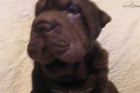 shar pei puppies for sale near me shar pei puppy for sale near central fl florida 4ae4fd2b 9951