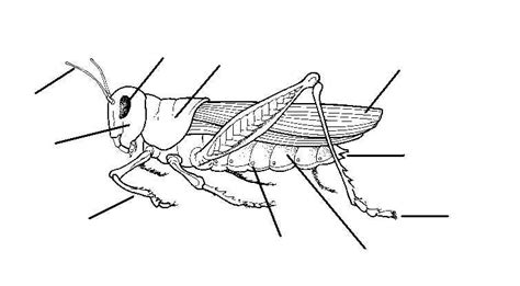 diagram of a grasshopper with label blank eye diagram cliparts co