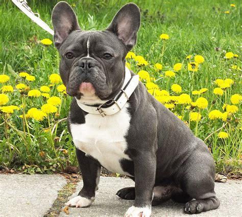 bull frances bulldog frances caracteristicas fotos y