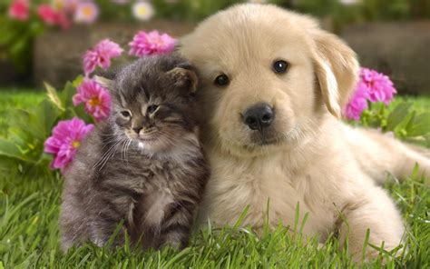 pictures of dogs and cats and cat wallpaper teddybear64 wallpaper 16834786 fanpop