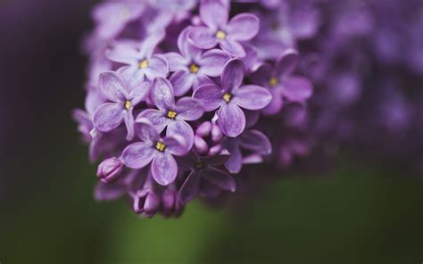 lilac flowers lilac flower purple photo 34733615 fanpop