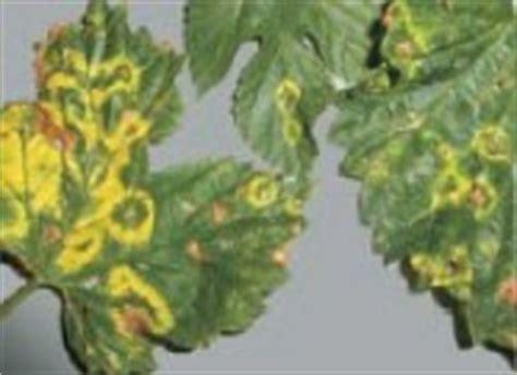 Wie Pflanze Ich 4365 by Virus Und Viroidinfektionen An Hopfen Lfl