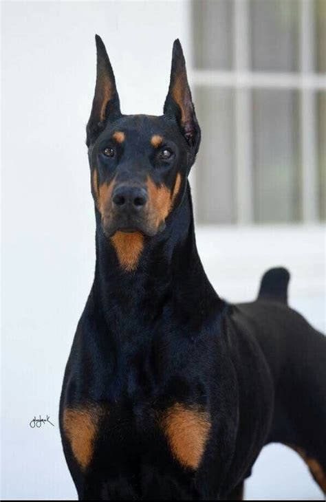 buy doberman puppy the 25 best ideas about dobermans on doberman
