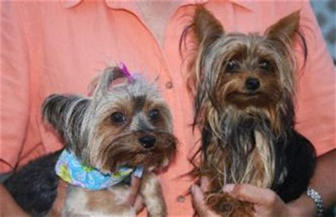 yorkies for sale in ga micro teacup yorkie for sale in photo