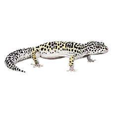pet reptiles  sale snakes geckos turtles