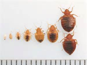 bed bug pictures stages bangdodo